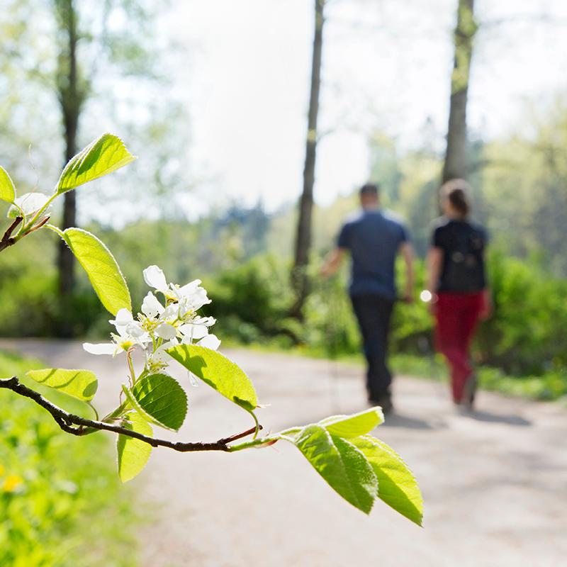 Kaksi ihmistä sauvakävelee keväisessä luonnossa. Etualalla kukkiva tuomi. Två personer stavgår ute i naturen på våren. I förgrunden står en blommande hägg.